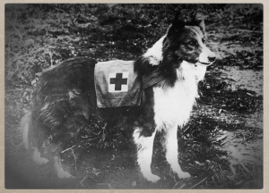 Red_Cross_collie